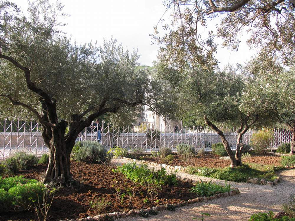 Израиль, Иерусалим, Гефсиманский сад (Israel, Jerusalem, The Garden of Gethsemane)