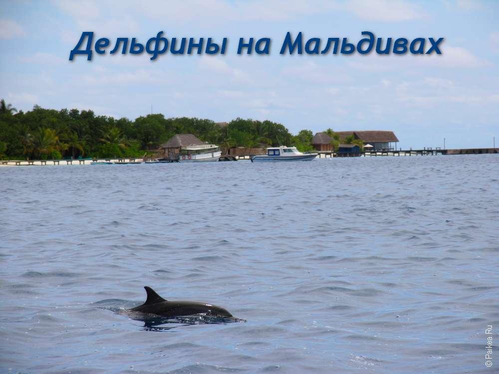 Мальдивы, дельфины в море