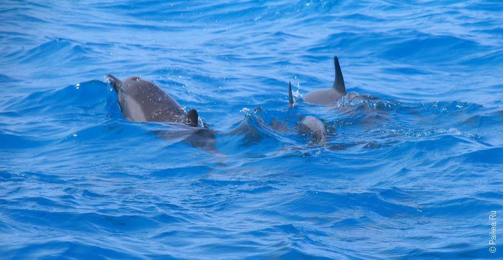 дельфины в море мальдивы