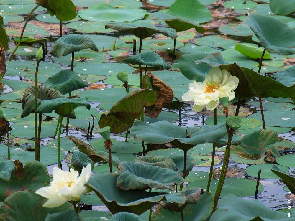 озеро с лотосами в Анурадхапуре