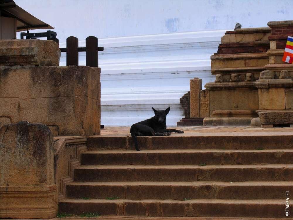 Собака у святой ступы Анурадхапуры в Шри-Ланке