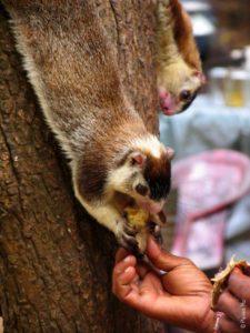 Белки в Михинтале / Фауна Шри-Ланки