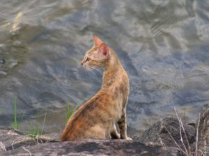 Местная кошка тоже любит посмотреть на воду