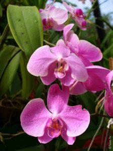 Светло-розовые орхидеи