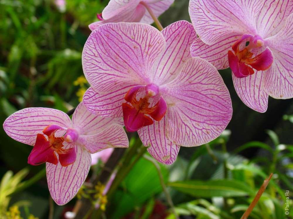 Орхидеи в Перадении