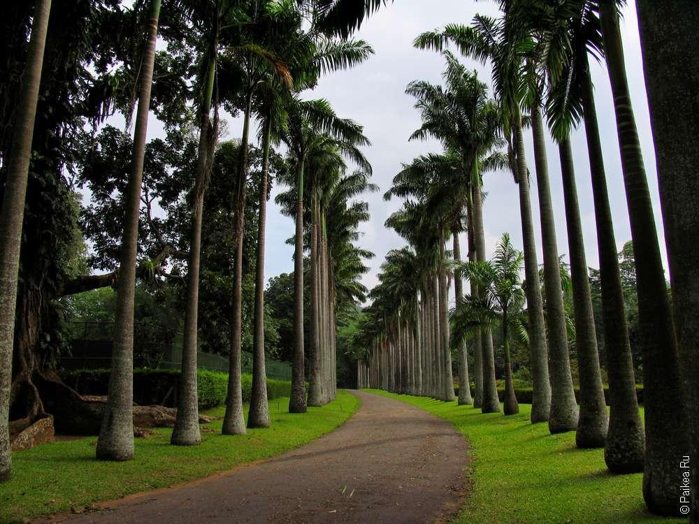 Аллея пальм в Ботаническом саду Перадения