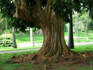 Дерево Аллеи славы в Перадении