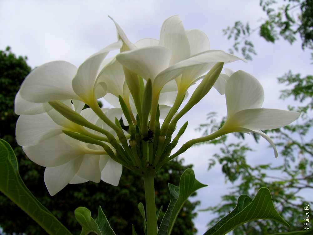 Цветок на Маафуши