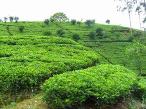 Чайные плантации в Нувара Элии