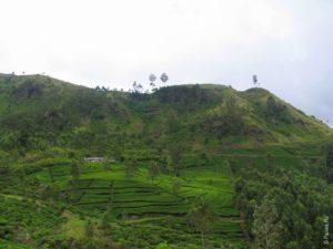 Чайные плантации в Нувара Элия (Nuwara Eliya)