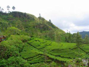 Как растет чай на кустах