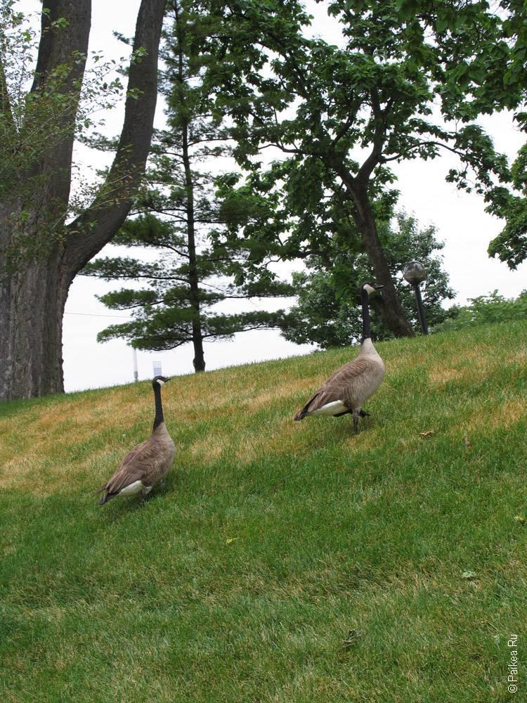 гуси идут по траве