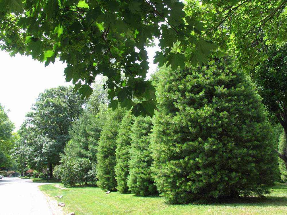 елки вдоль тротуара