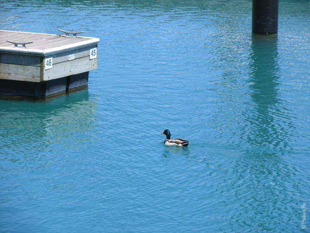 Чикаго утка на озере