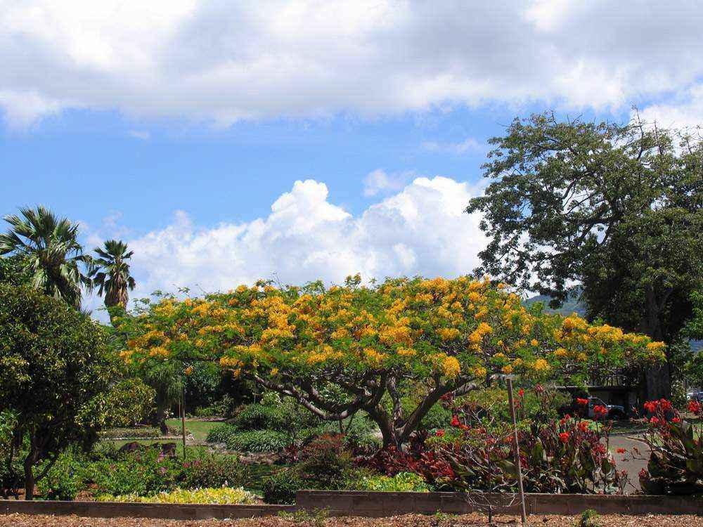 небо и красивое цветущее дерево на гавайях
