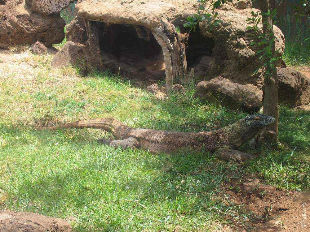 Комодский дракон в зоопарке Гонолулу