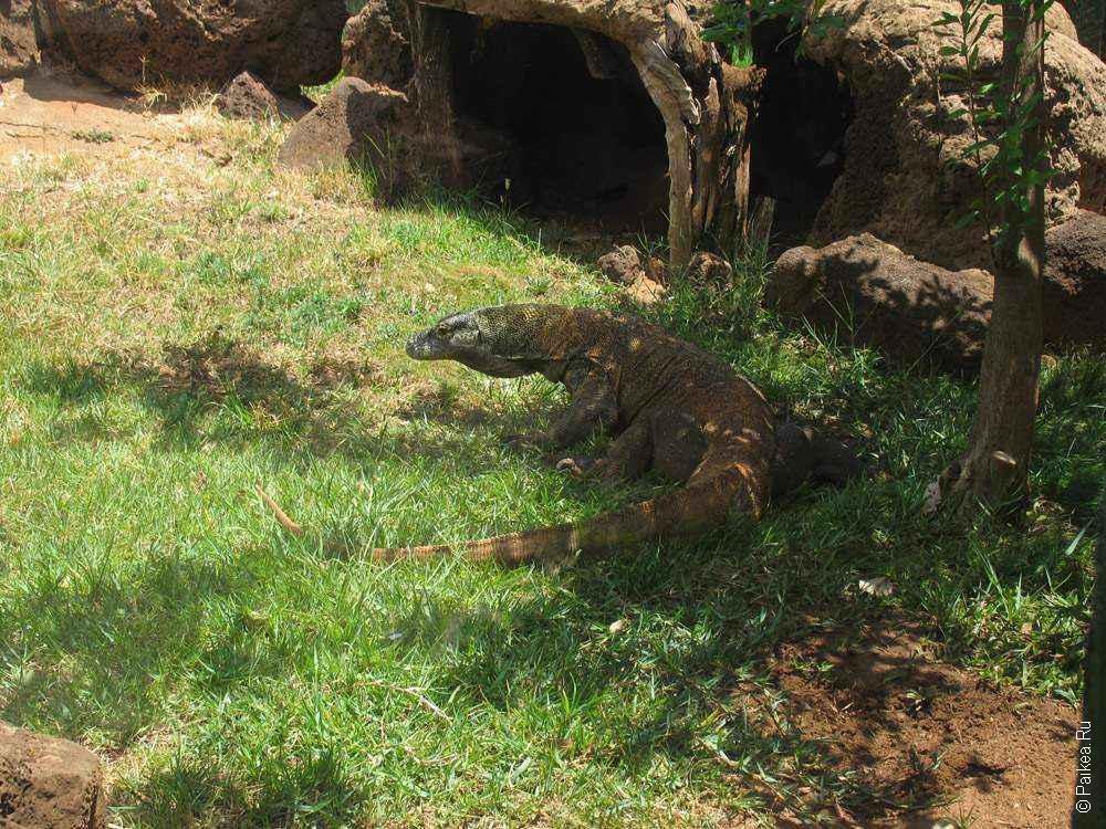 комодский дракон фото
