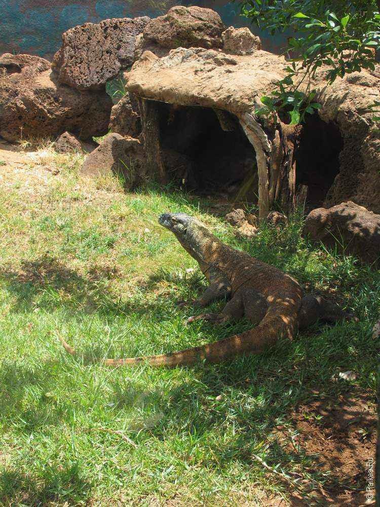 комодский дракон в траве