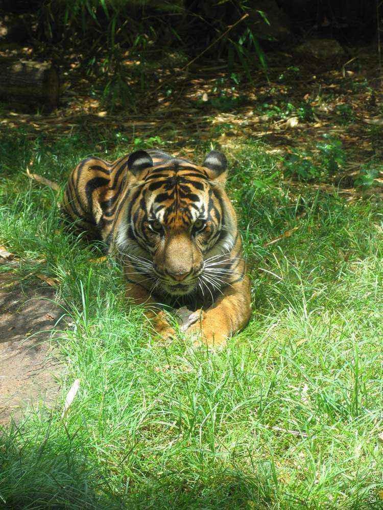 фото тигра в зоопарке гонолулу