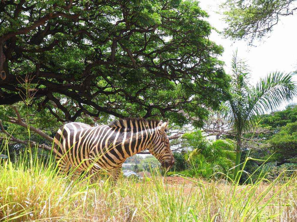 зебра в траве