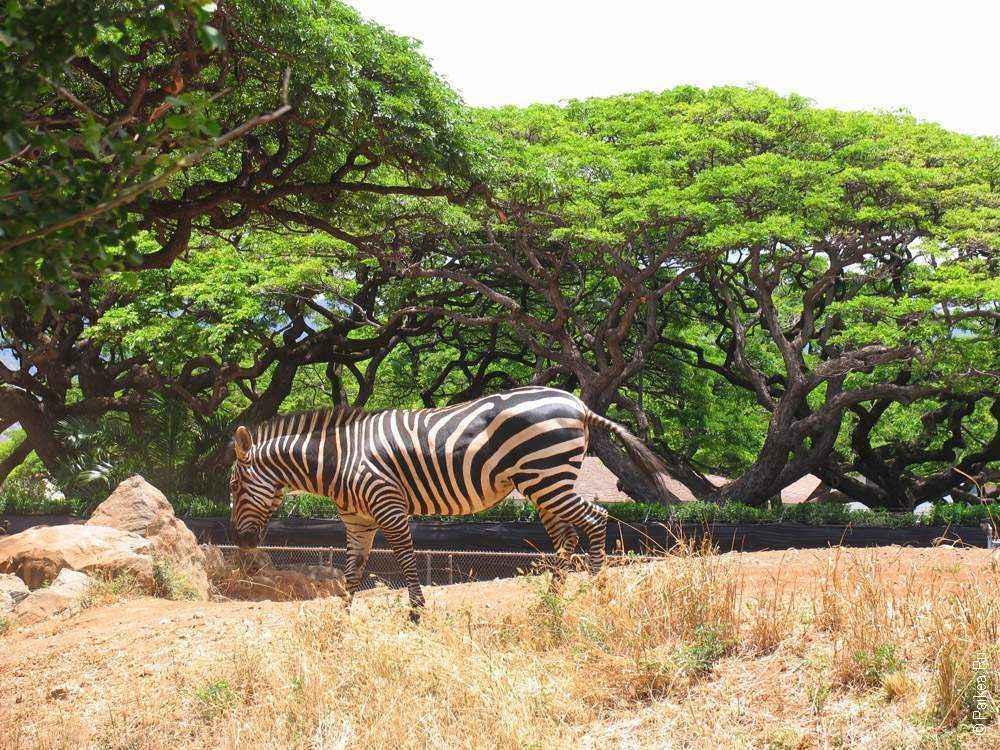 зебра в зоопарке гонолулу
