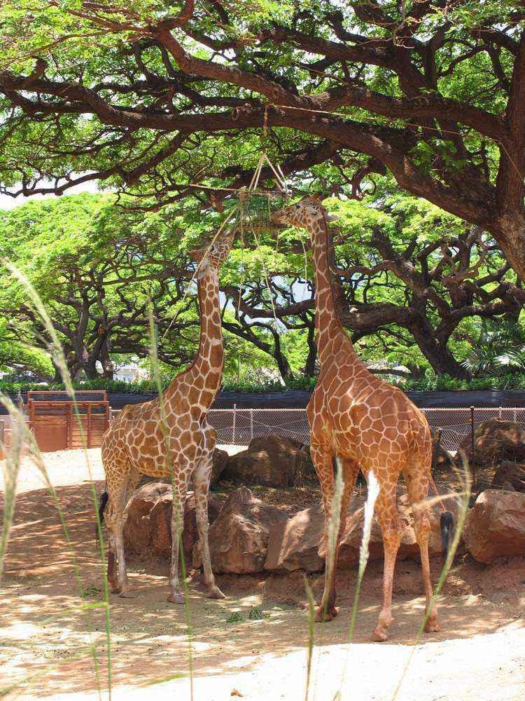 два жирафа стоят под деревом