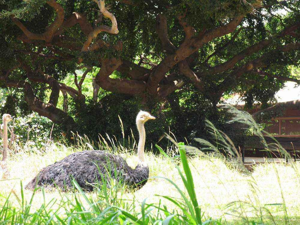 страус под деревом