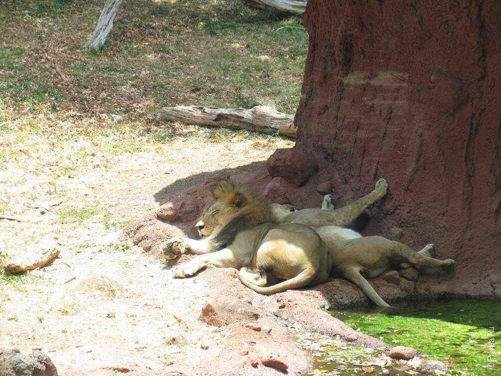 львы отдыхают в тени