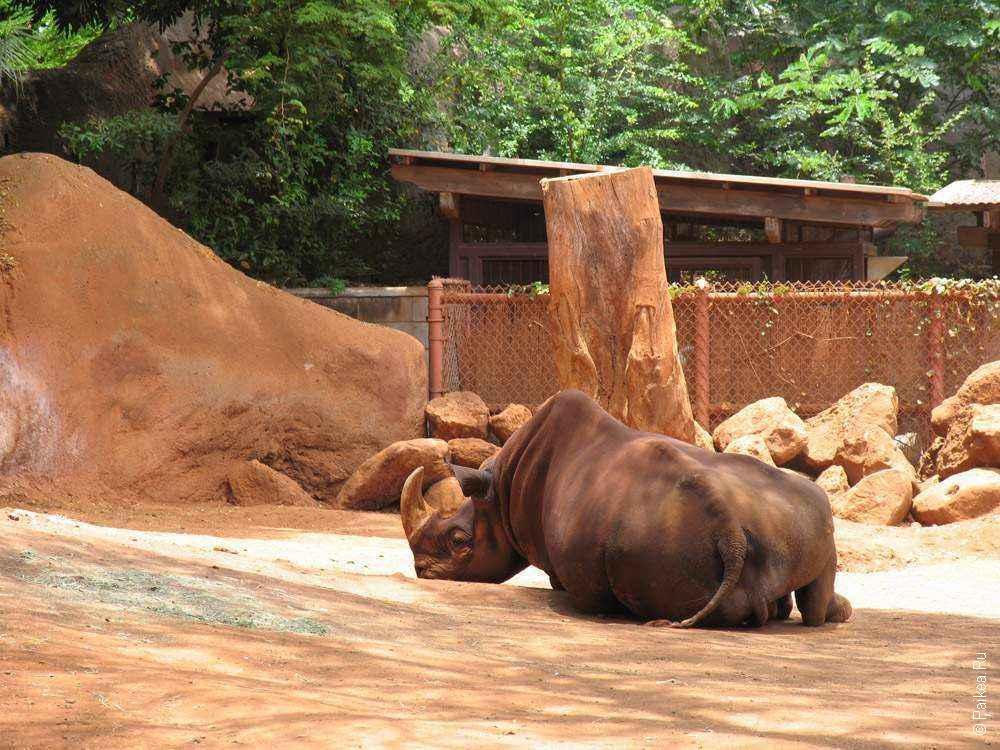 носорог в зоопарке гонолулу