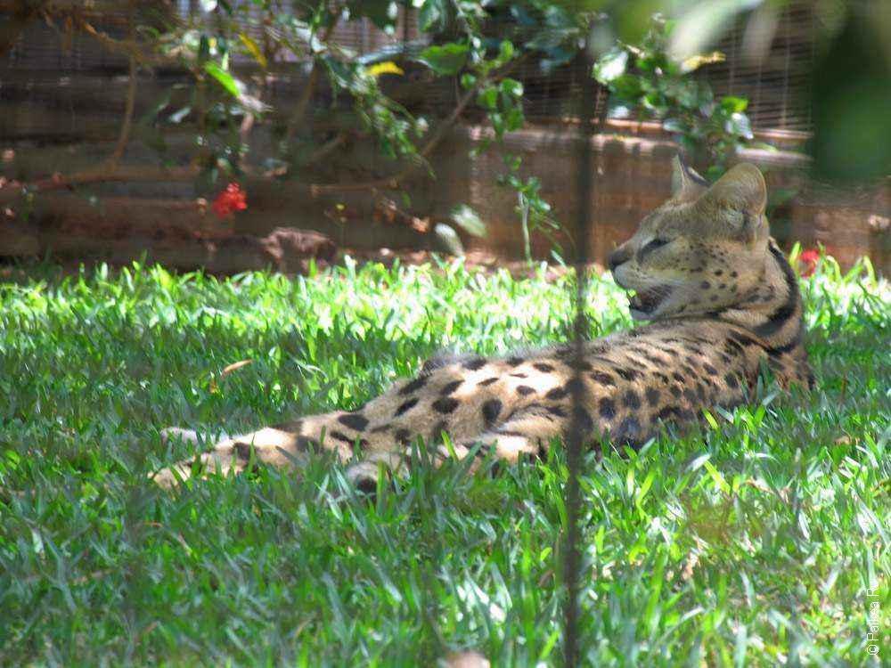 Гепард в зоопарке гонолулу