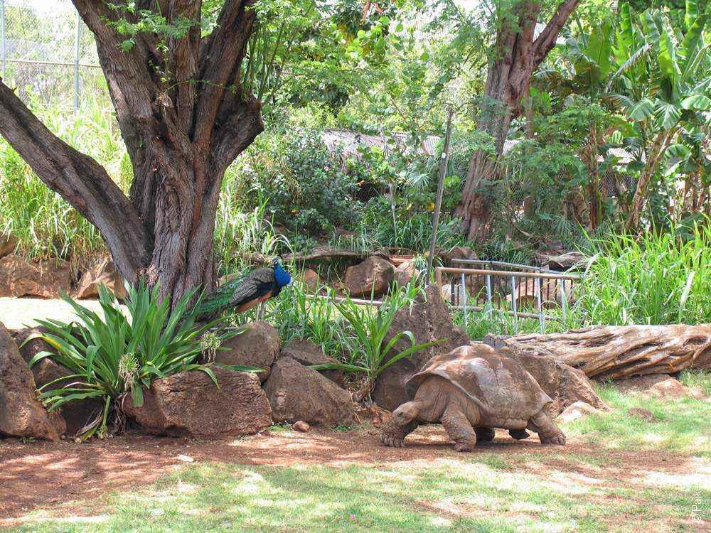 галапагосская черепаха в зоопарке гонолулу