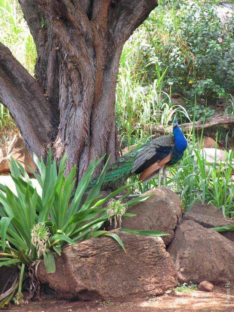 птица павлин сидит на камне