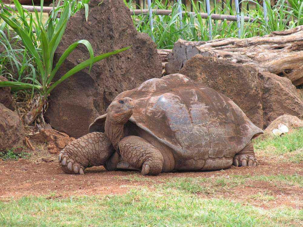 большая галапагосская черепаха