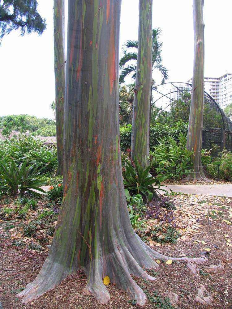 деревья с цветной корой