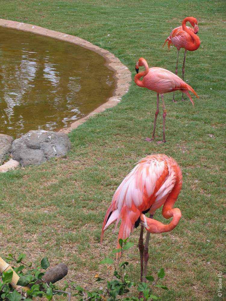 фламинго на гавайях