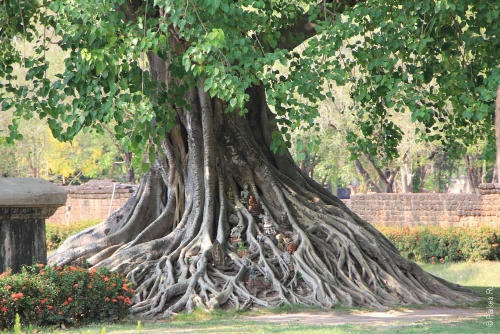 дерево с большими корнями