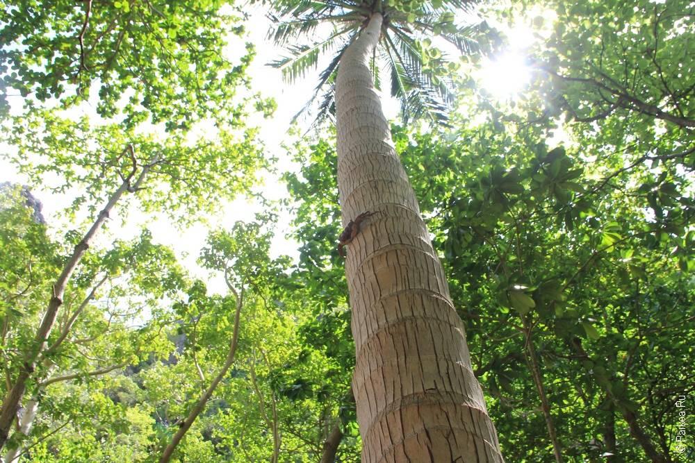 Высокая кокосовая пальма