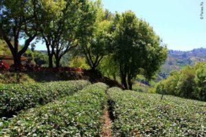 Чайные кусты и плантациии чая в Таиланде