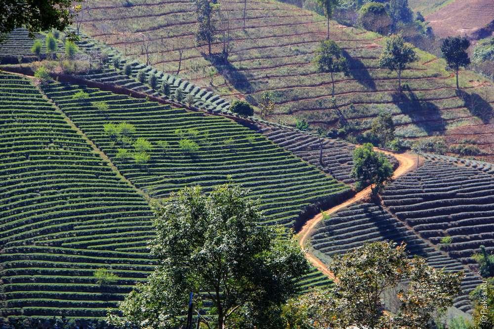 Чайная плантация Мае Салонг