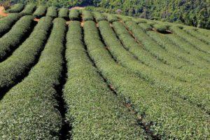 Чай Мае Салонг
