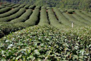 Так растет тайский чай Мае Салонг