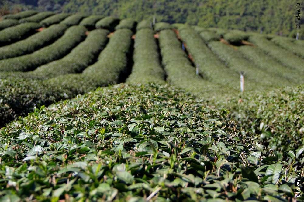тайский чай Мае Салонг
