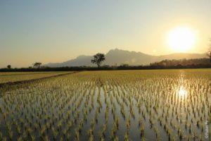 Рисовое поле Ме Сай Таиланд