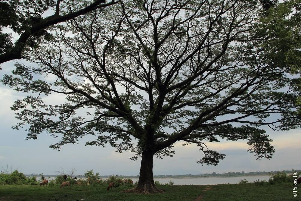 Раскидистое дерево Ват Пху, Лаос
