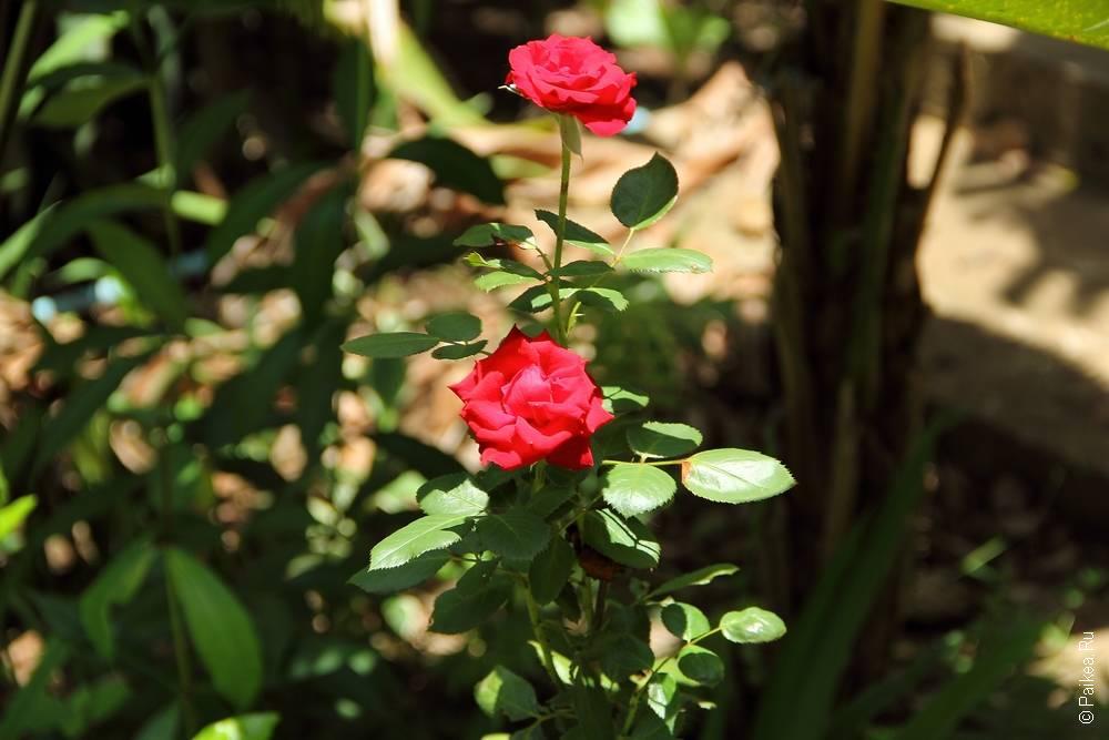 Цветы красной розы