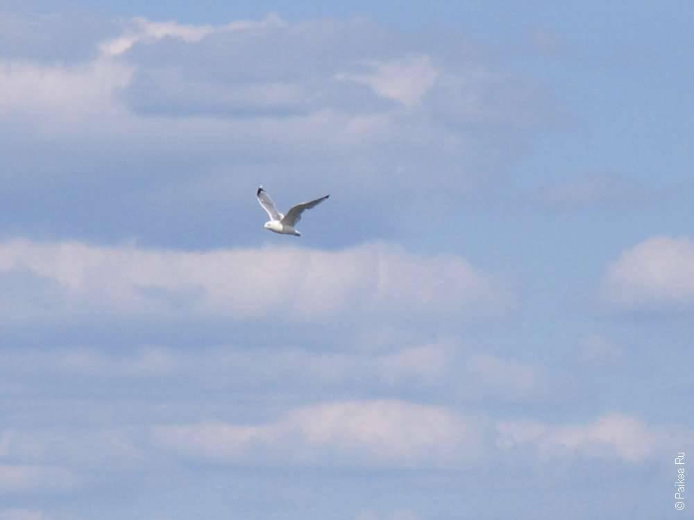Чайка летит над рекой