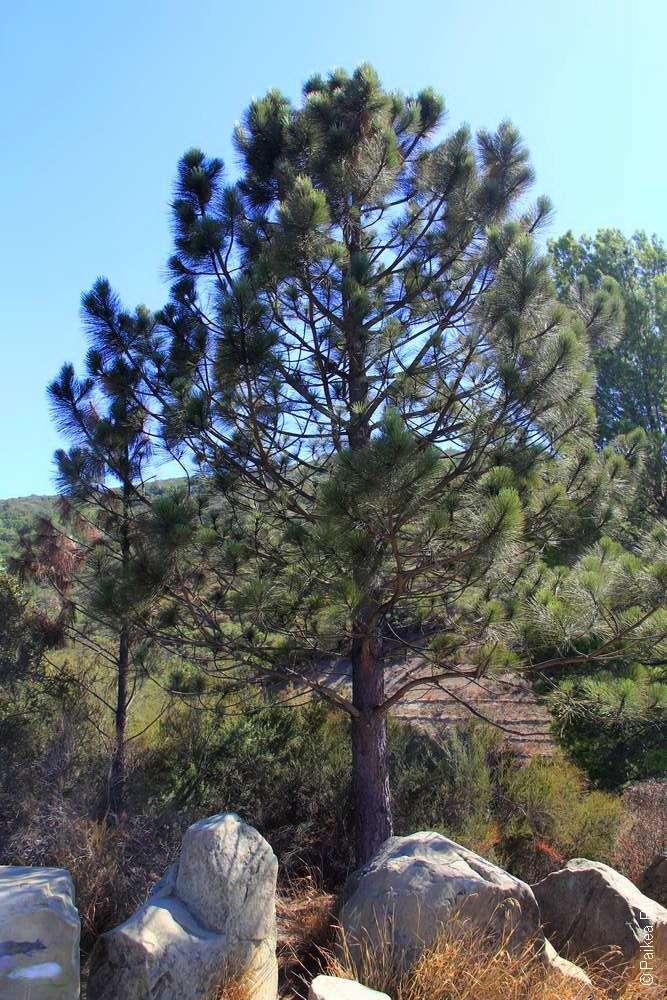 Сосна в Калифорнии в долине Санта-Инес