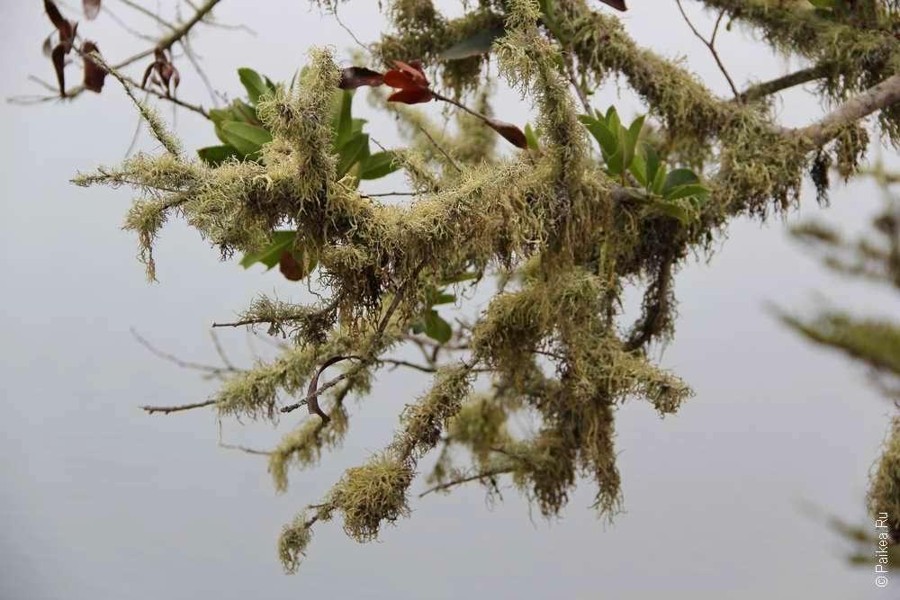 Белый мох на ветке