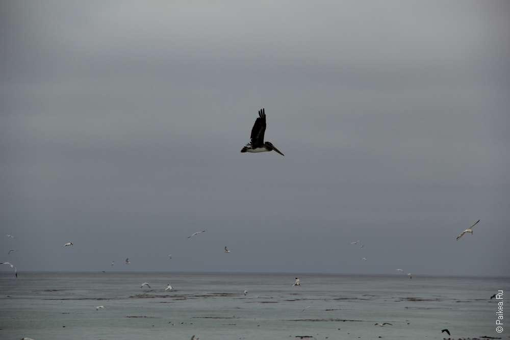 Сан-Симеон пеликан