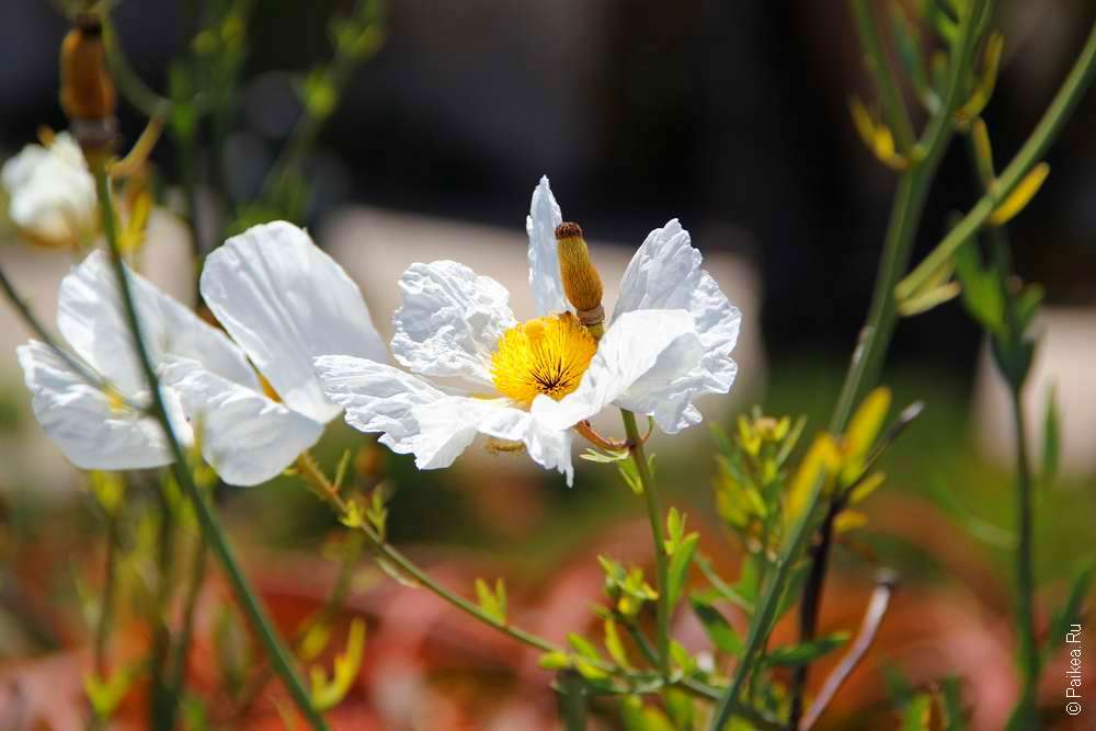 Цветок в саду, Кармел, Калифорния, США